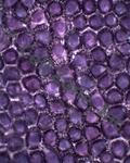 Purple Petal, Unstained Whole Mount